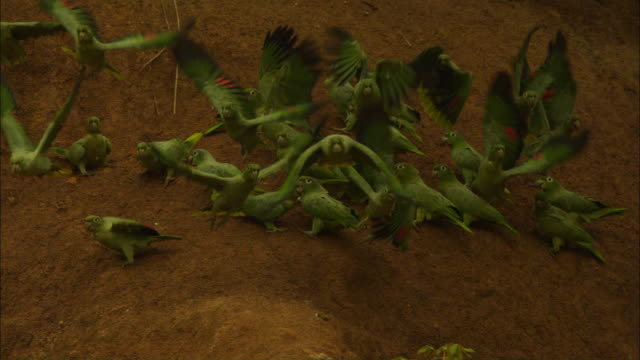 stockvideo's en b-roll-footage met slomo group of mealy parrots take off towards camera from clay lick - meer dan 40 seconden
