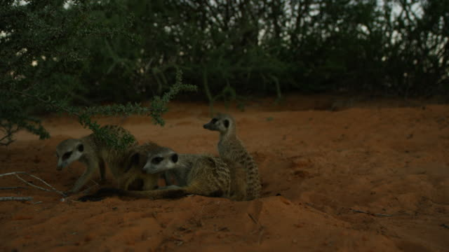 vidéos et rushes de group of meerkats at mouth of burrow in twilight - groupe moyen d'animaux