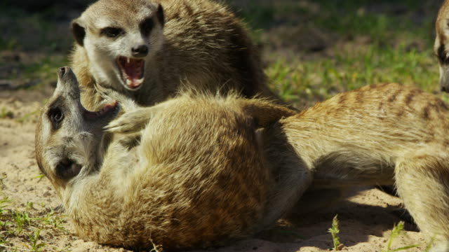 cu group of meerkats fight close to camera - fighting stock videos & royalty-free footage