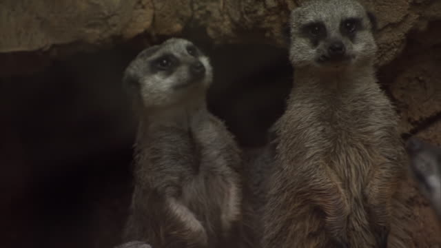 CU Group of meerkats in zoo / Chicago, Illinois, United States