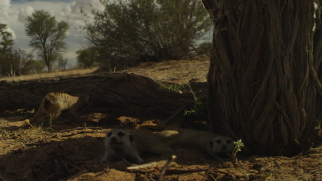 group of meerkats lying prone in shade then foraging on a desert tree - foraging stock videos & royalty-free footage
