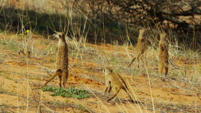 vídeos y material grabado en eventos de stock de group of meerkats on tails and look around nervously then run off - grupo mediano de animales