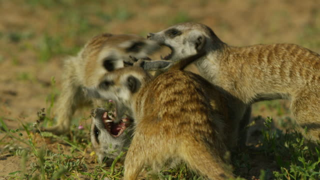 cu group of meerkats play fighting close to camera - fighting stock videos & royalty-free footage