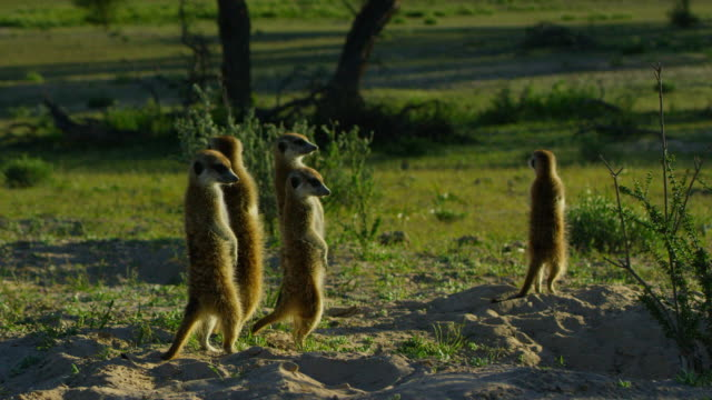 group of meerkats stand upright in dawn light - small group of animals stock videos & royalty-free footage