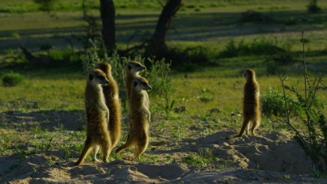 vídeos y material grabado en eventos de stock de group of meerkats stand upright in dawn light - grupo pequeño de animales