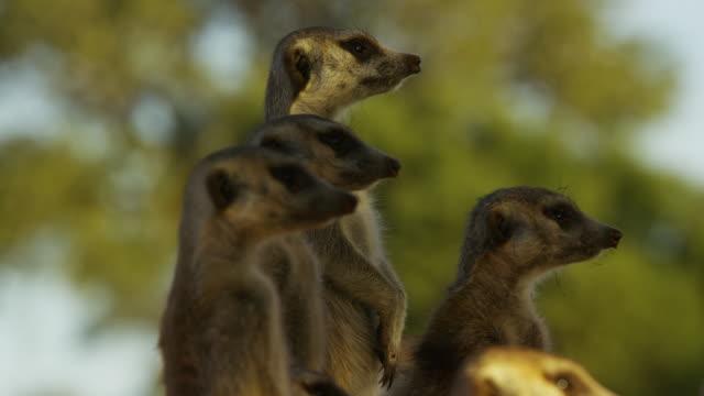 cu group of meerkats standing and looking intently r/f to foreground meerkat - mellanstor djurflock bildbanksvideor och videomaterial från bakom kulisserna