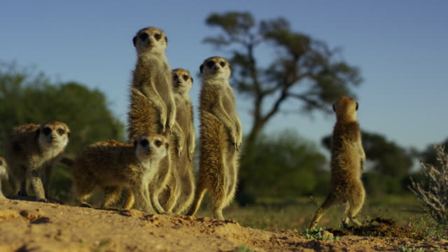 vidéos et rushes de ms group of meerkats standing in dawn light and looking nervously towards camera - groupe moyen d'animaux
