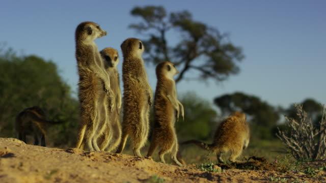 vídeos de stock e filmes b-roll de ms group of meerkats standing in dawn light then suddenly running into burrow - criação animal