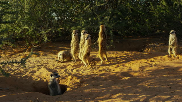 vidéos et rushes de ms group of meerkats standing upright in morning sunshine as another meerkat emerges from burrow - groupe moyen d'animaux