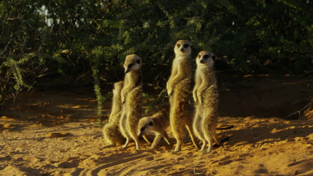 ms group of meerkats standing upright in morning sunshine - piccolo gruppo di animali video stock e b–roll