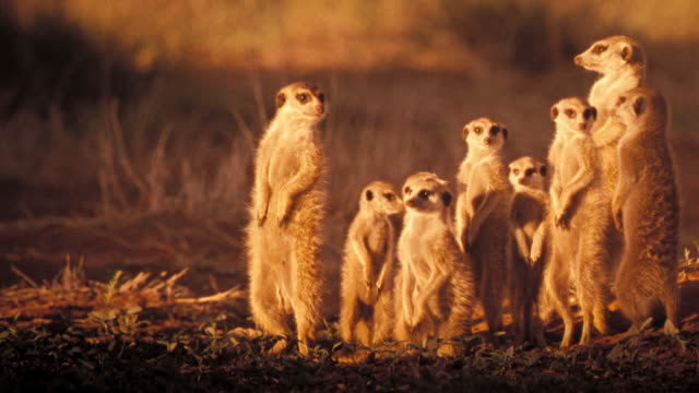 A group of meerkats stands alert at the entrance into a burrow. Available in HD.