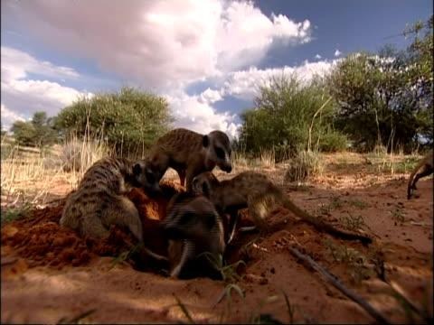 MS group of Meerkats, Suricata suricatta, near burrow, Kuruman River Reserve, South Africa
