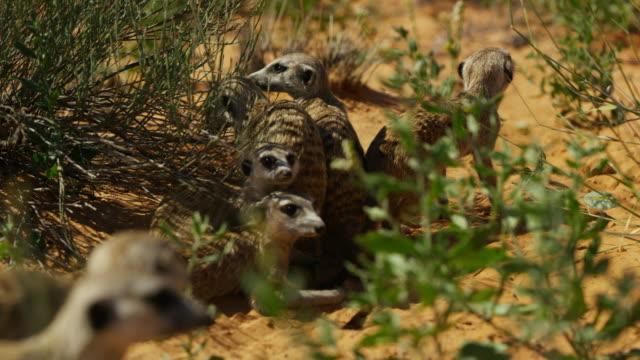 group of meerkats together under bush then run off towards camera - mellanstor djurflock bildbanksvideor och videomaterial från bakom kulisserna
