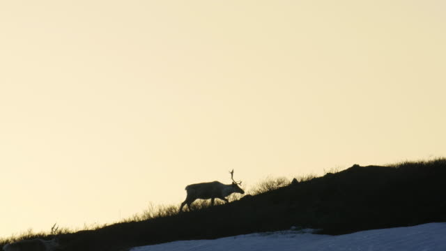 vidéos et rushes de a group of migrating caribou silhouettes climbing a hill in anwr - caribou