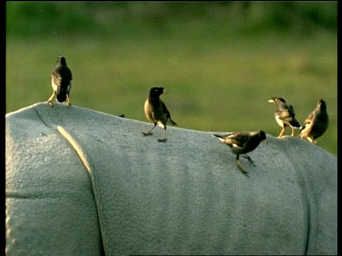 cu group of minor birds on back of greater one-horned rhinoceros, india - piggyback stock videos & royalty-free footage