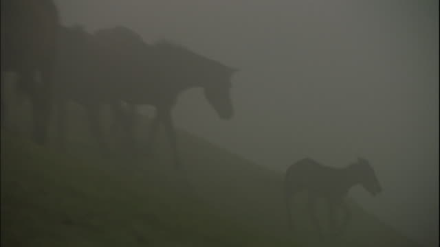A group of Misaki horses eating grass in a deep fog.
