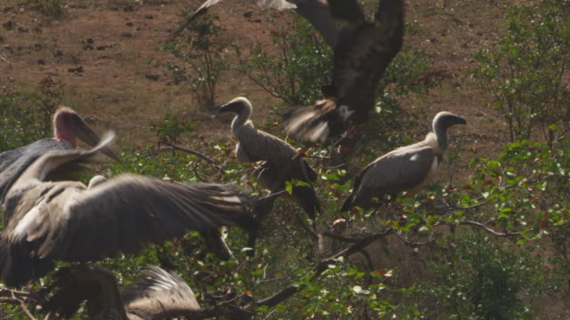 ha cu group of mixed african vultures perched in tree then take off - 翼を広げる点の映像素材/bロール