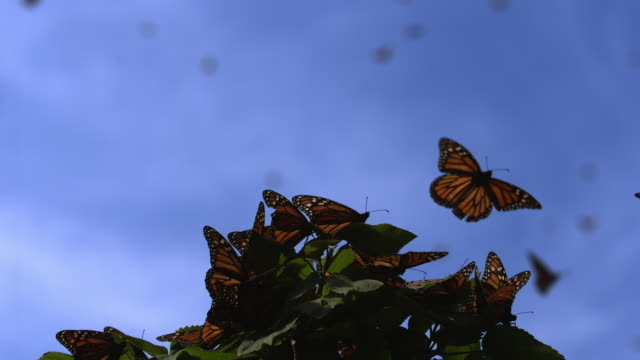 slomo group of monarch butterflies flapping wings on plant and one takes off - michoacán video stock e b–roll