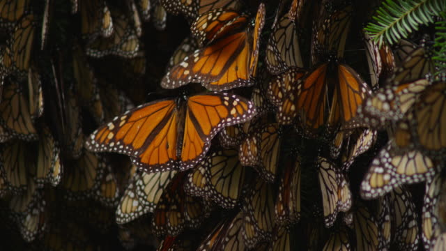 cu group of monarch butterflies on branch spreading wings - monarch butterfly stock videos & royalty-free footage