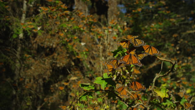 group of monarch butterflies on branch then crane up trees with massed butterflies taking off - morelia video stock e b–roll
