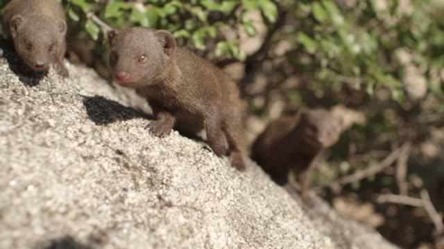vidéos et rushes de ms pan group of mongoose / hoedspruit, south africa - petit groupe d'animaux