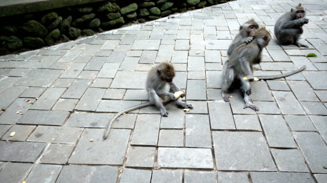 a group of monkeys sit and eat at a path in uluwatu monekey forest - animal family stock videos and b-roll footage