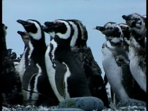 ms group of moulting magellanic penguins, spheniscus magellanicus, waddling past by shore, antarctica - waddling stock videos and b-roll footage