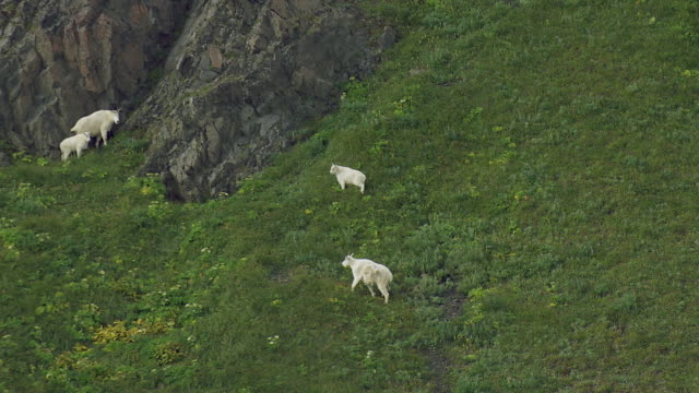 vídeos y material grabado en eventos de stock de group of mountain goats in alaska - cabra mamífero ungulado