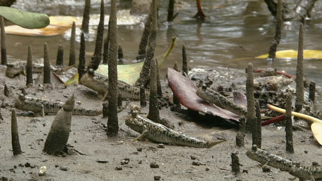 a group of mudskippers - mudskipper stock videos and b-roll footage