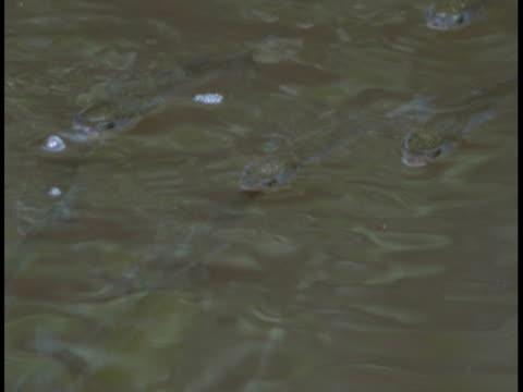 vídeos de stock e filmes b-roll de a group of mullet blows bubbles as they breach the surface. - vir à superfície
