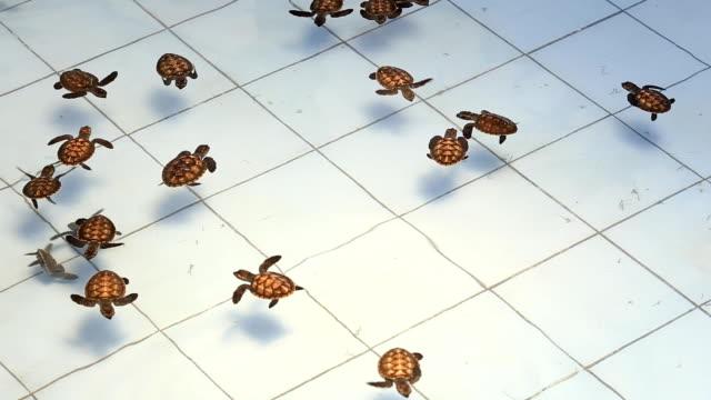 vídeos y material grabado en eventos de stock de grupo de bebé turtle en el agua - dermoquélidos