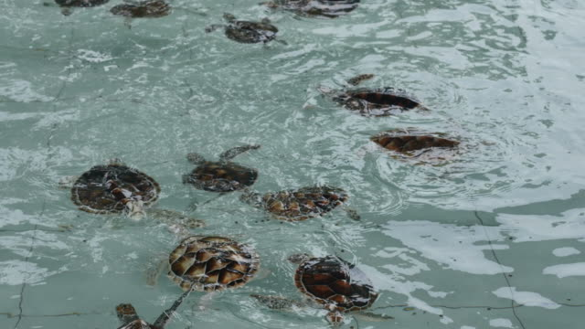 Group of newborn turtle in the water.