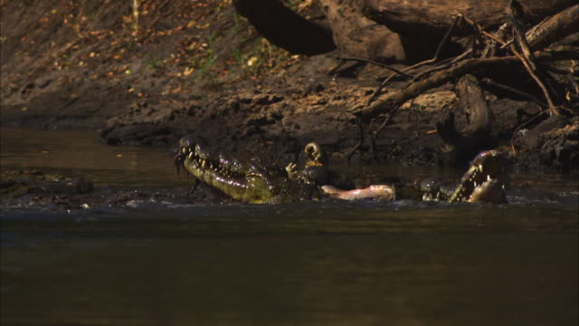 SLOMO group of Nile crocodiles eating catfish in shallow river