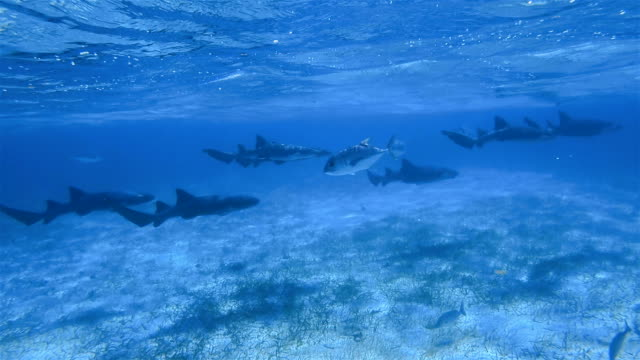 Group of nurse sharks on Shark Ray Alley Marine Reserve in Caribbean Sea - Belize Barrier Reef / Ambergris Caye