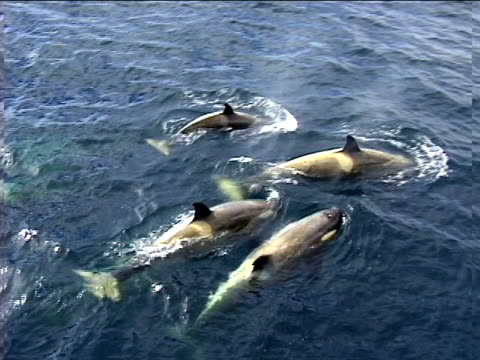 A group of Orca whales