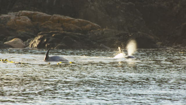 Group of Orcas fishing in kelp bed backlit very close to shoreline