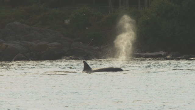 group of orcas fishing in kelp bed backlit very close to shoreline then swim towards camera - cetaceo video stock e b–roll
