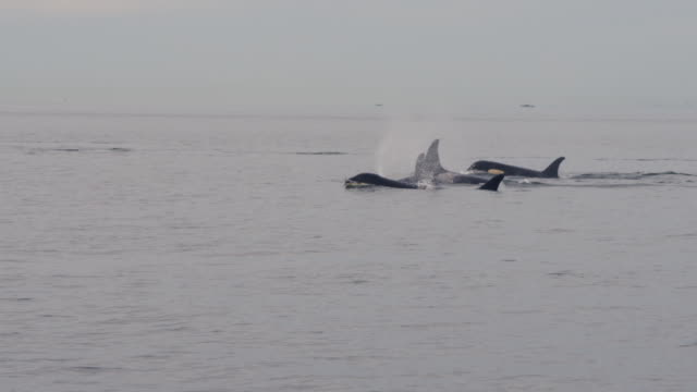 group of orcas surfacing to breathe in open sea - aquatic organism stock videos & royalty-free footage