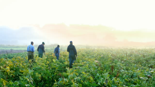 vidéos et rushes de ms group of organic farmers walking through squash field on way to harvest on foggy fall morning at sunrise rear view - moins de 10 secondes