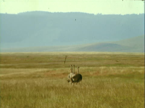 vidéos et rushes de ms group of ostrich walking across golden savanna / africa - 1970