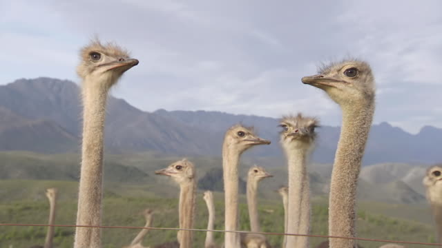 ms group of ostriches in field / western cape, south africa - 動物の頭点の映像素材/bロール