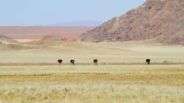 ws group of ostriches walking in field in front of mountain / sossusvlei, hardap, namibi - wiese stock videos & royalty-free footage