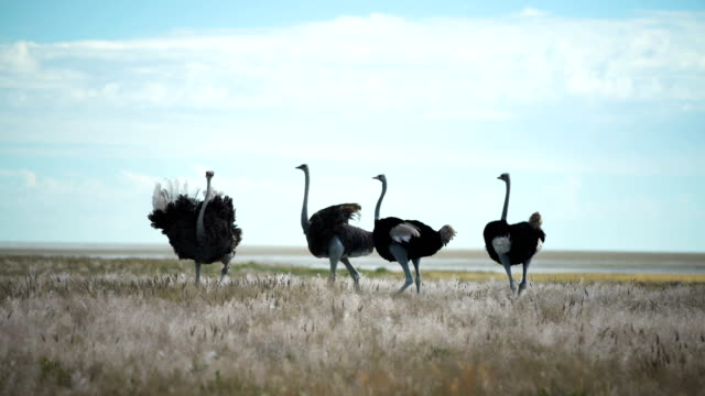 group of ostriches walking on savannah grasses - feather stock videos & royalty-free footage