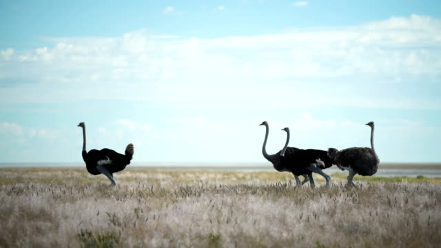group of ostriches walking on savannah grasses - safari animals stock videos & royalty-free footage