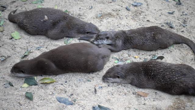 Groep otter op de grond rusten.