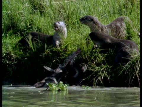 mcu group of otters dragging fish on to riverbank, feeding, india - カワウソ点の映像素材/bロール