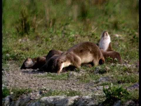 mcu group of otters urinating and defecating in communal place, india - defecating stock videos and b-roll footage