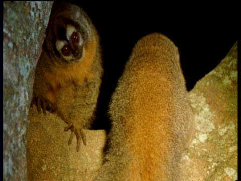 vidéos et rushes de group of owl monkeys in tree at night by torchlight, south america - vigilance