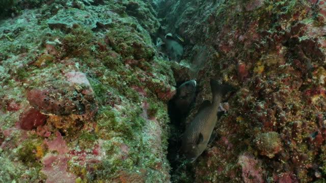 group of painted sweetlips (plectorhinchus picus) at undersea rock cliff - sweetlips stock videos & royalty-free footage