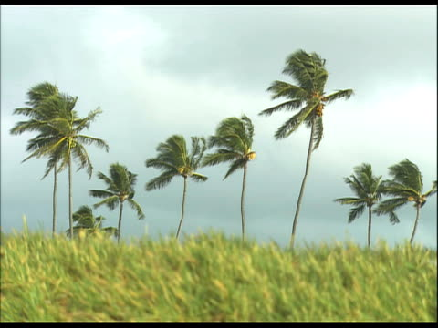 group of palm trees in grassy field, moving in wind; against grayish sky - medium group of objects stock videos & royalty-free footage